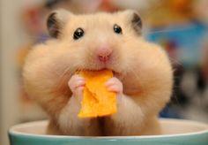 High Resolution Wallpaper hamster