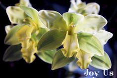 Cymbidium Orchid at the Santa Barbara International Orchid Show.  Santa Barbara, CA