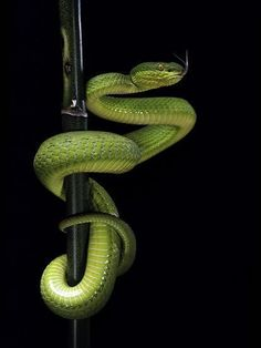 Photographic Print: Trimeresurus Albolabris (White-Lipped Tree Viper) by Paul Starosta : Les Reptiles, Cute Reptiles, Reptiles And Amphibians, Snake Drawing, Snake Art, Snake Wallpaper, Snake Photos, Colorful Snakes, White Lips