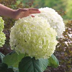 This is without a doubt the largest-flowered mophead type in the world, its blooms approaching the size of beachballs!