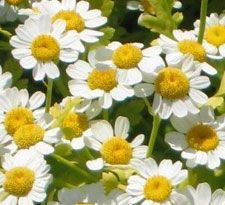 The Herbalist: Feverfew: A Floral Healer