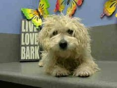 #A443479 (Moreno Valley, CA) female, white Poodle - Miniature mix. The shelter thinks I am about 1 year. I have been at the shelter since Dec 07, 2014 and I may be available for adoption on Dec 14, 2014 at 12:22PM. .. City of Moreno Valley Animal Control Services. https://www.facebook.com/135559229932205/photos/a.382565775231548.1073741961.135559229932205/397994563688669/?type=3&theater