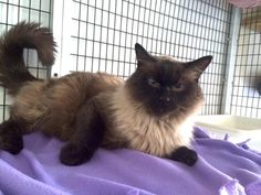 Meet Timothy, a Petfinder adoptable Siamese Cat | Chicago, IL | Timothy is an absolute riot. This 7 year-old FIV+ boy has so much spunk and spirit, you'd swear he...