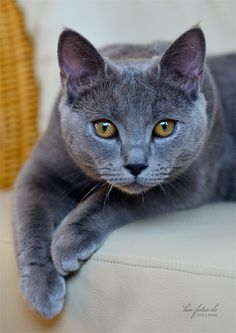 The Chartreux, or also referred to as the Carthusians, is a French breed cat with blue-gray coat and amber eyes. It is believed due to their coat structure that the Chartreux originated in the mountains of Syria or the Rocky Mountains between Turkey and Iran.