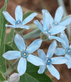 Tweedia Tweedia is a tiny, delicate blue flower. These light blue beauties are a great accent to any blue wedding bouquet.  Seasonal Availability: Apr-Nov Vase Life: 5-9 Days