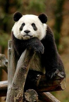 This page lists cute panda things including panda clothing, panda jewelry, panda toys, panda gifts and more. Also, latest giant panda information and facts are posted to keep you be aware of what happened to these cuddly animals. Zoo Animals, Animals And Pets, Funny Animals, Cute Animals, Wild Animals, Panda Bebe, Cute Panda, Big Panda, Bored Panda