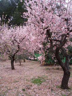 Alcalalí. Almendros en flor