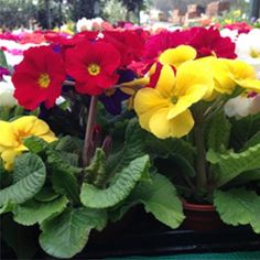 polyanthus - mixed colours Australia