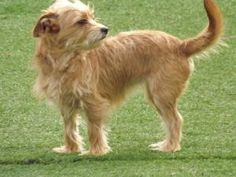 Karma is an adoptable Yorkshire Terrier Yorkie Dog in McDonough, GA. Karma is a beauty!  She truly deserves good Karma in her next life!  She is a Yorkie mix, we are thinking she is mixed with a Shiht...