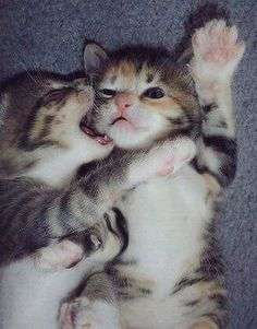 5 cute kittens and. Cute Kittens, Kittens Playing, I Love Cats, Crazy Cats, Beautiful Cats, Animals Beautiful, Cute Baby Animals, Funny Animals, Cat Biting