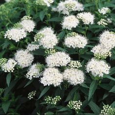 Fluffy White Heads Throughout Summer The Spirea 'Japanese White', Spiraea albiflora, has bright green foliage, topped by heavy clusters of white blooms at the end of the branches. Japanese White is covered with flat clusters of white flowers in June, and Modern Landscaping, Outdoor Landscaping, Landscaping Ideas, Magic Carpet Spirea, White Flowering Shrubs, Garden Shrubs, Shade Garden, Moon Garden, White Gardens