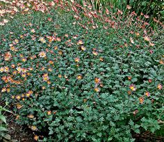 Chrysanthemum 'sheffields' - Yahoo Image Search Results