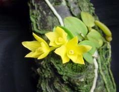 Sophronitis cernua var. aurea (amarela)