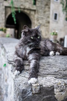 Swiss Cat - Smoked longhair bicolor cat photographed in Switzerland, outodoors, in front of a museum. Pretty Cats, Beautiful Cats, I Love Cats, Cool Cats, Chat Male, Bicolor Cat, Warrior Cat Oc, Gatos Cats, Cat Pose
