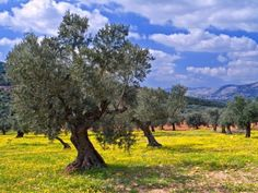 Photo about Ancient olive grove in the Galilee, Israel. Image of ancient, grove, grow - 4437172 Olive Tree, Holy Land, Andalucia, Image Photography, Trees To Plant, Travel Around, Scenery, Places To Visit, Stock Photos