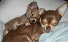 Effective Potty Training Chihuahua Consistency Is Key Ideas. Brilliant Potty Training Chihuahua Consistency Is Key Ideas. Cute Funny Animals, Cute Baby Animals, Animals And Pets, Cute Dogs And Puppies, Baby Dogs, Doggies, Tiny Puppies, Cute Animal Pictures, Dog Pictures
