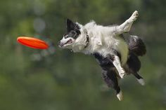 Le border collie champion de frisbee