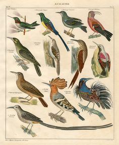 Hoopoe, Bird of Paradise