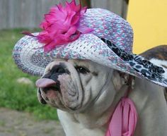 The major breeds of bulldogs are English bulldog, American bulldog, and French bulldog. The bulldog has a broad shoulder which matches with the head. Bulldog Pics, English Bulldog Puppies, British Bulldog, Animals And Pets, Baby Animals, Funny Animals, Cute Animals, Cute Puppies, Cute Dogs
