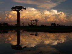 """Les baobabs de Menabe, à Madagascar ==> Découvrez """"10 arbres qui invitent au voyage"""" : http://www.geo.fr/photos/reportages-geo/arbres-extraordinaires-qui-invitent-au-voyage-156393"""