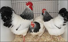 The light Sussex has a white body with a black tail and black wing tips, its neck is white striped with black and has a very striking appearance. The Sussex chicken is an alert, docile breed that can adapt to any surrounding, they are comfortable in both free range or confined spaces. There is a bantam version at 1/4 size.