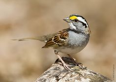 White throated sparrow. i think of my dad when I hear his sweet song.