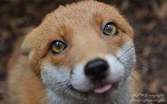 Ce renard est tellement apprivoisé qu'il ne peut plus vivre dans la nature (photos et vidéo)
