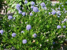 Säckelblume 'Victoria' - Ceanothus impressus 'Victoria'