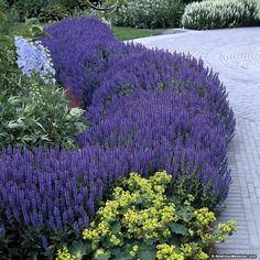 Blue Hill boasts striking, lilac-blue blooms and wonderfully fragrant foliage. This Sage's smaller size makes it perfect for a border garden or container. (Salvia nemorosa)