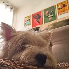 """A serenidade do Zecca depois de uma sonequinha no meio da tarde.  Zecca é o cãozinho da Crisley (@crisleydellaqua) que está curtindo essa sala liiinda toda decorada com os nossos pôsteres.  Estão ali o """"Catálogo de Cerveja"""" e """"Feeling Good"""" da coleção ChicoRei e """"Infinity Bird"""" e """"Warhol x Basquiat"""".  Gostaram? O Zecca amou!!!  - http://ift.tt/1dqyBxz (link na bio). #nacasadajoana #abaixoasparedesvazias #pôster #posters #quadros #enquadrados #design #decoração #decor #interiordesign…"""