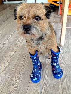 Puppies And Kitties, Baby Puppies, Cute Puppies, Pet Dogs, Dog Cat, Doggies, Funny Animal Pictures, Dog Pictures, Border Terrier Puppy