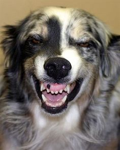 Australian Shepherd Club of America, Aussies and Dalmations and some other breeds of dogs smile.