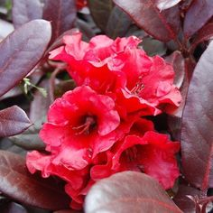 Rhododendron+Everred+-+Red+Evergreen+Rhododendron