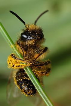 Abeille Abeille The Effective Pictures We Offer You About Mammals elephant A quality pictur Animals And Pets, Cute Animals, Foto Macro, Afrique Art, Buzzy Bee, I Love Bees, Bee Photo, Bees And Wasps, Beautiful Bugs