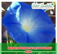 Benih Bunga Hias Morning Glory Heavenly Biru