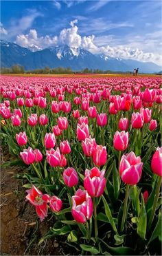 i'd love to see a field of tulips at some point in my life.