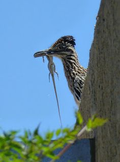 Roadrunner with lizard. After they catch it they hold it in their beak and whip it on the ground till  it's dead!