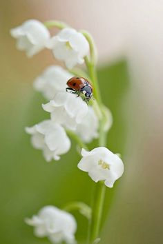 For the faeries ladybug on white bell flowers flower bud for the faeries ladybug on white bell flowers flower bud blossom bloom pinterest ladybug flowers and insects mightylinksfo
