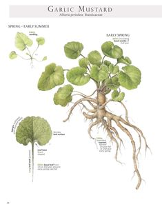 Garlic Mustard in basal rosette stage, a perfect time for making wild-style horseradish with the root. Image from our book Foraging & Feasting: A Field Guide and Wild Food Cookbook by Dina Falconi; illustrated by Wendy Hollender.  http://bit.ly/1Auh44Q