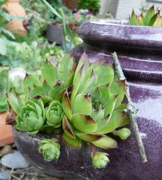 Guildwood Gardens...: Sempervivum - Hauswurz in our garden...