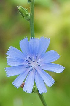 Edible Weeds & things. You can eat weeds & surprisingly they have a lot of nutritious qualities:)   CHicory Flower