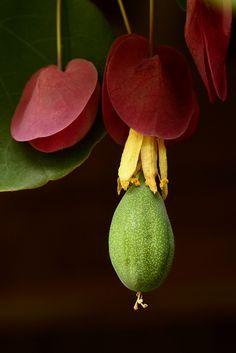 ^Passiflora membranacea