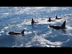 Orcas in Active Pass, Galiano Island BC - Canada (wow!)  How many times have I taken a ferry through here and never see any. lh.  beautiful amazing creatures.