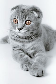 gray, lop-eared, cat, cute, pet