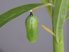 Monarch Picture Story, chrysalis that the beautiful butterfly emerges from.