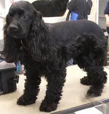 Image result for how to cut hair on cocker spaniel