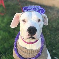 Dallas Texas Dogo Argentino Meet Lola A For Adoption Https Www Adoptapet Com Pet 28076325 Dallas Texas Dogo Ar In 2020 Dogo Argentino Pet Adoption Dog Adoption