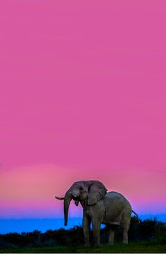 African Elephant To travel to places that most wouldn't and to love it for that reason alone Elephants Never Forget, Save The Elephants, Elephants Photos, Elephant Pictures, Baby Elephants, Beautiful Creatures, Animals Beautiful, Majestic Animals, Elefante Dumbo