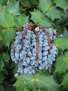 Image result for mahonia