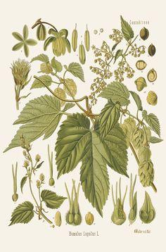 [ Botanical Print: Humulus lupulus, Hops ] illustrated by Franz Eugen Kohler (c. 1883-1914). For sale (or admiration). ~ on Missouri Botanical Garden Press mbgpress.info